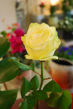 La rose white Noemi