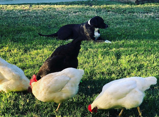 Are Raising Chickens Really Worth It?