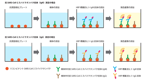 Spike Protain原理図.png