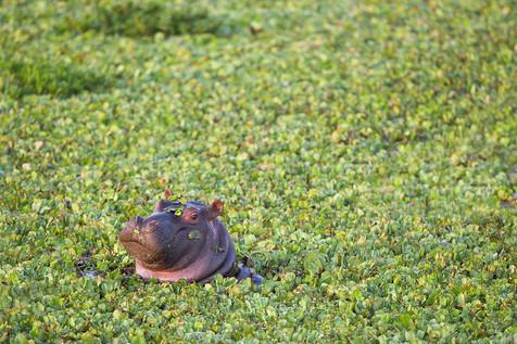 Hippo pool, Massaï Mara