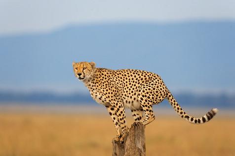 Massaï Mara