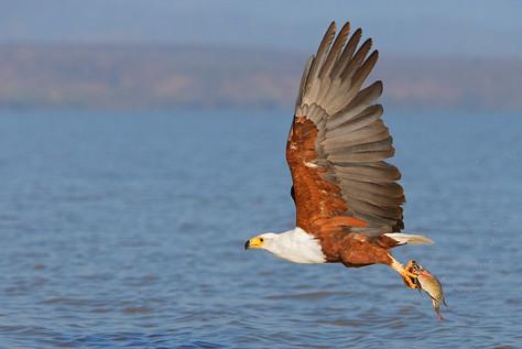 Aigle Pygargue pêche, Lac Baringo