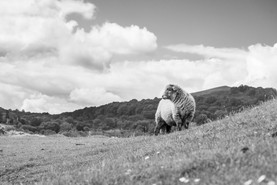 Cmonland sheep.jpg