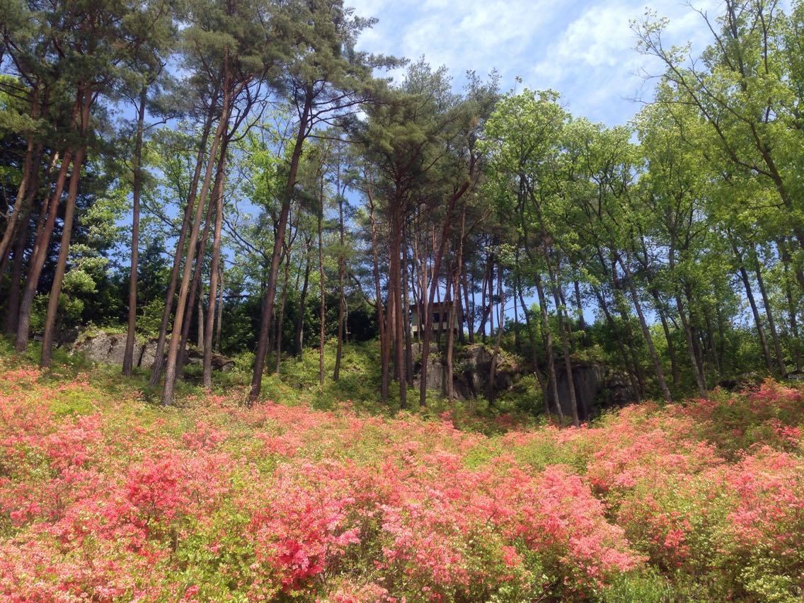 Alpenroses ( Abukuma Heighland)
