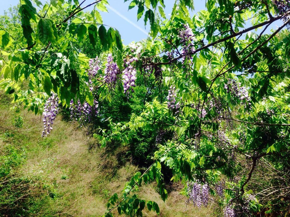 Japanese Wistaria