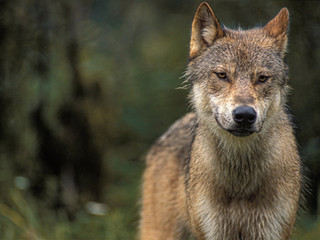 B.C. kills 237 wolves while court challenge of air hunt pending