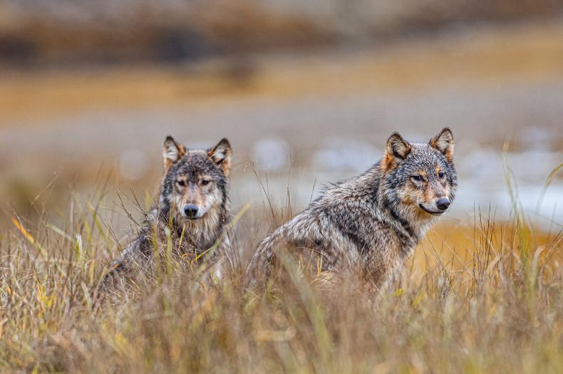 Rebeka Breder Pacific Wild BC Wolf Cull