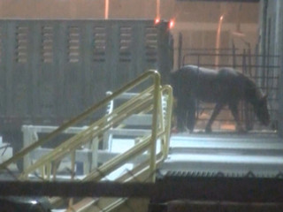 'We want them to follow the law': Court to hear case on horses shipped overseas for meat'