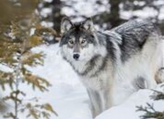 Cease and Desist Letter Issued to B.C. Government for Controversial Wolf Cull for Contravention of P