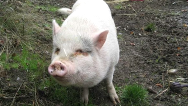 Molly the Pig