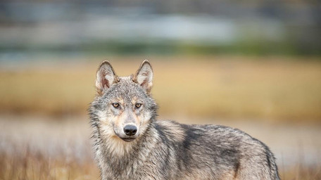 PACIFIC WILD TAKES BC GOVERNMENT TO COURT OVER WOLF CULL PROGRAM