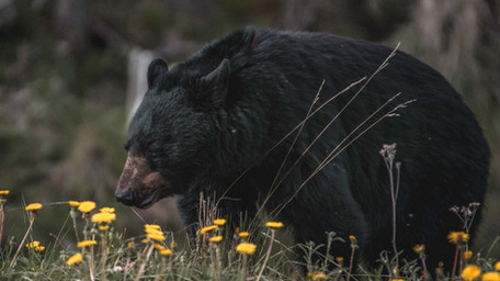 The Great Bear Hunt Debate