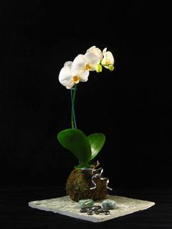 Kokedama Orquídea Phalaenopsis