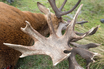 Red Stag NZ trophy hunt showing huge mass and crowning of antlers