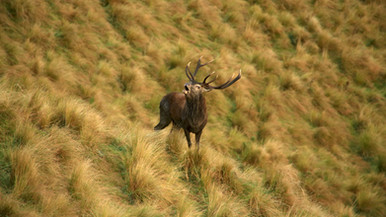Red Stag rut in New Zealand