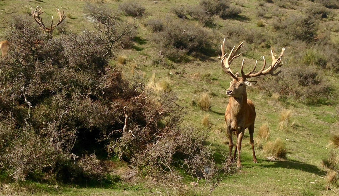 Red Stag encounters
