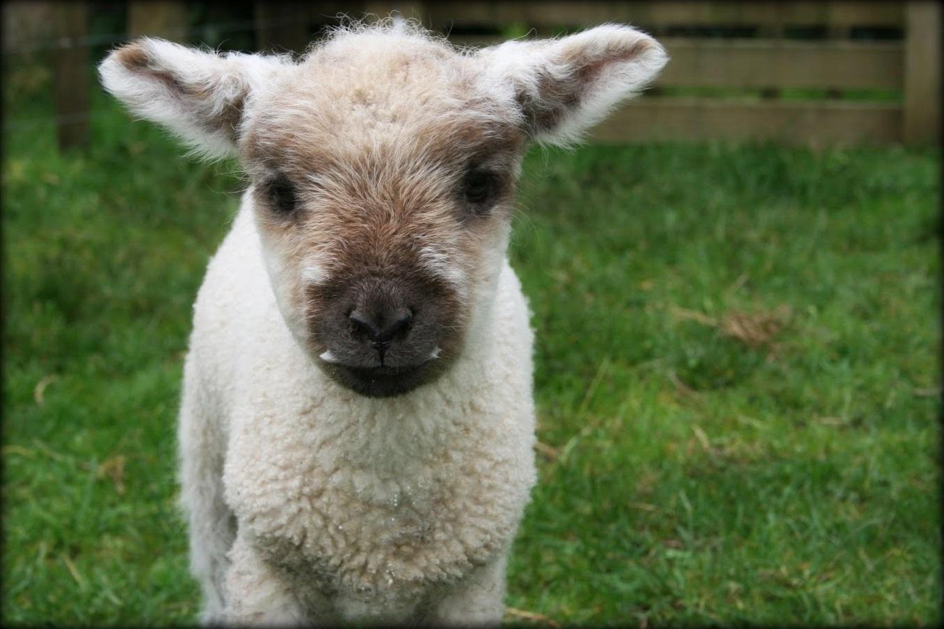 Spring Lambs New Zealand Farmstay