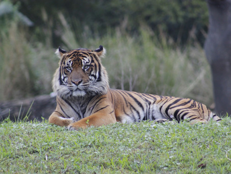 The Plight of the Tiger & What We Can Do To Help