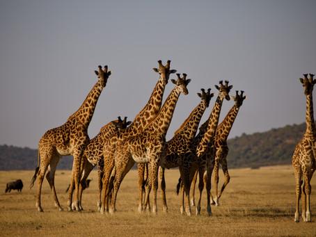 Giraffes need help!