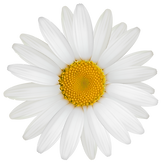 Daisy_PNG_Clipart_Image.png