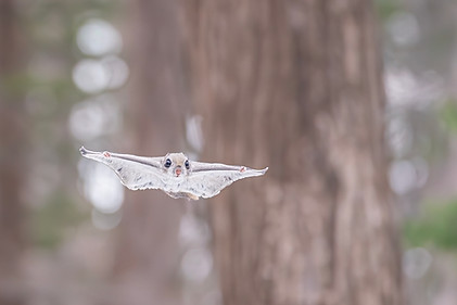 空飛ぶエゾモモンガ