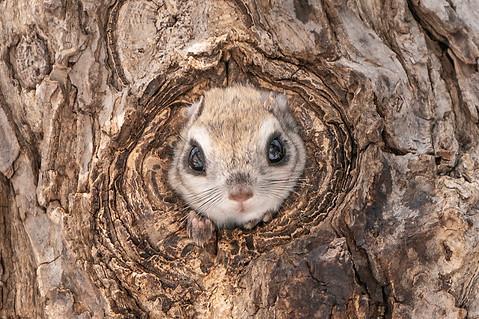 巣穴から顔を出すエゾモモンガ