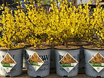 FORSYTHIA 'Show Off' 2.jpg