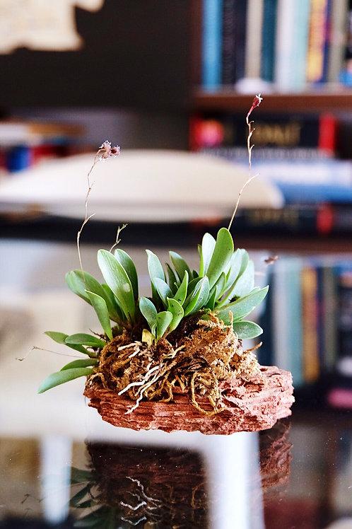 orquídea platystele