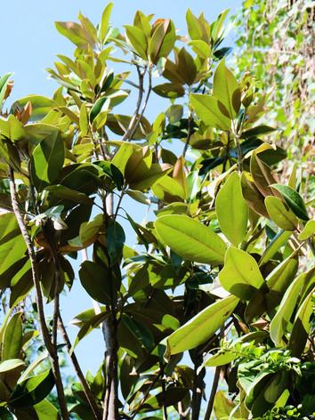 Magnolia - Blanca Monstera