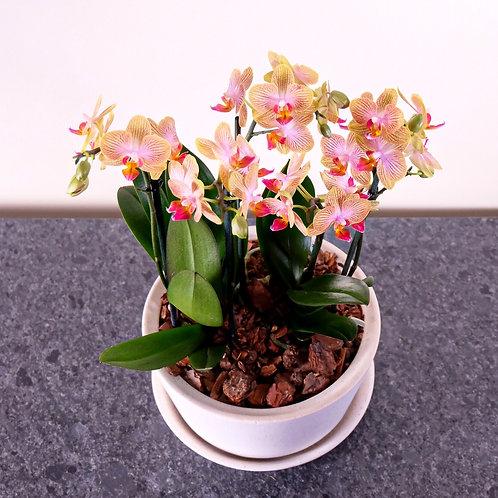 arreglo de orquídeas mini