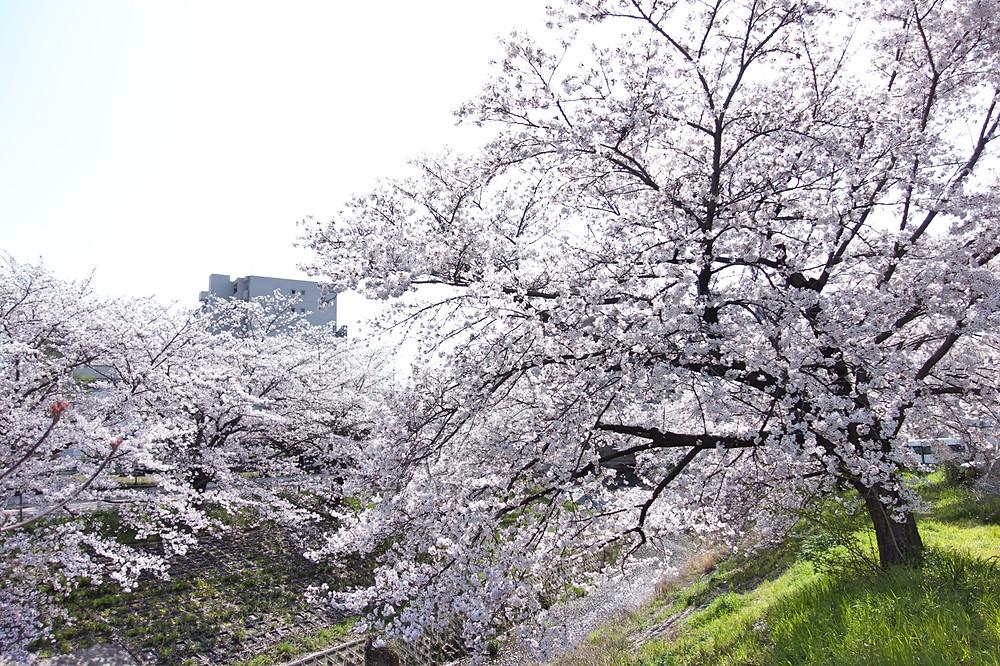 橋から撮ってしまいがちだけど、少し横に移動して、一つの桜に絞った方がなんか好き