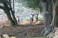 New Forest Deer