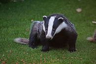 New Forest Badger