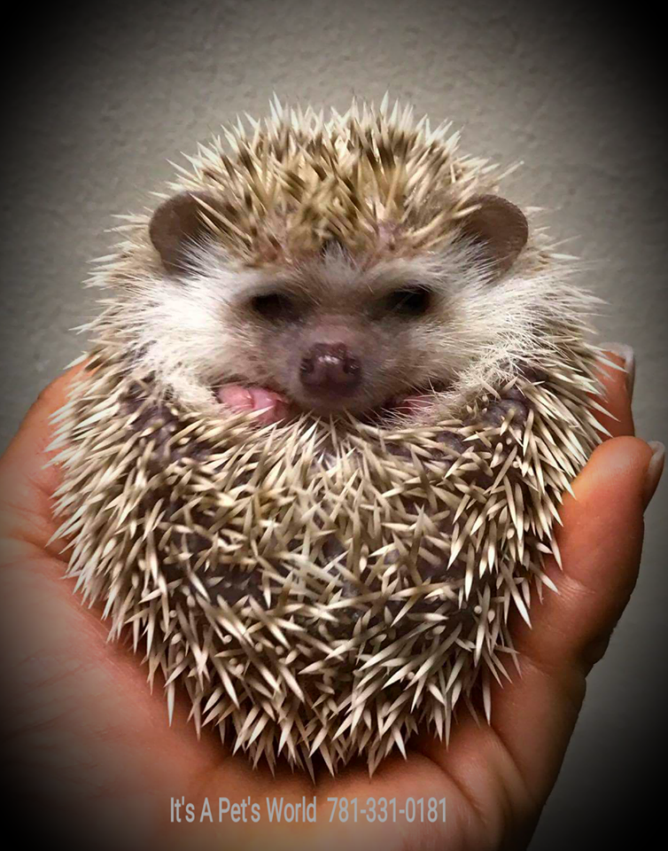 hedgie2.png