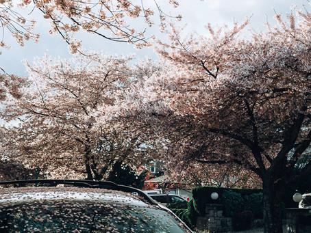 Cherry Blossoms Mini 1