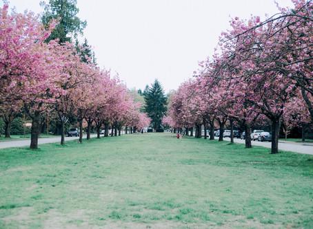 Cherry Blossoms Mini 4