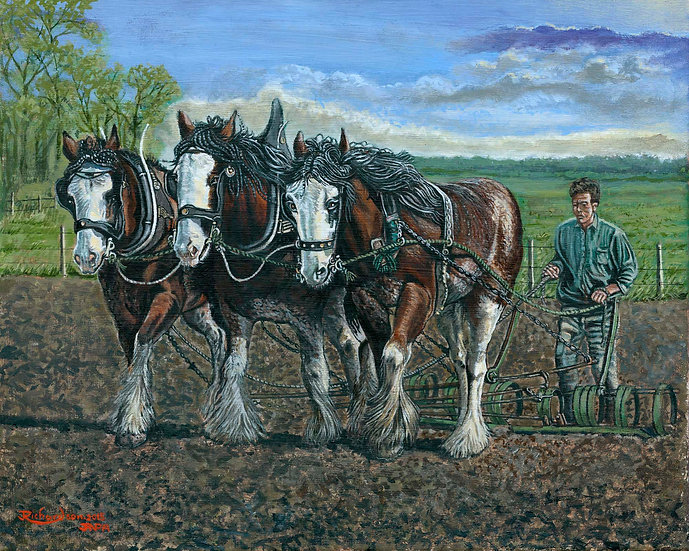 Shire Horses Working