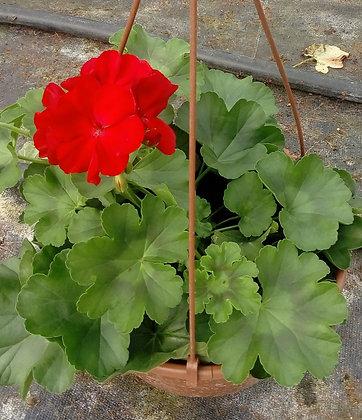 "Pelargonia Czerwona ""Caliope"" w amplu"