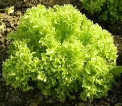 Sałata karbowana zielona