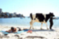 Escape of the bovines.jpg