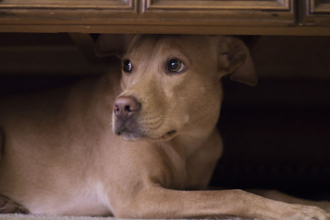 Dog hides under coffee table from thunde