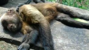 Paraná registra três mortes de macacos por febre amarela