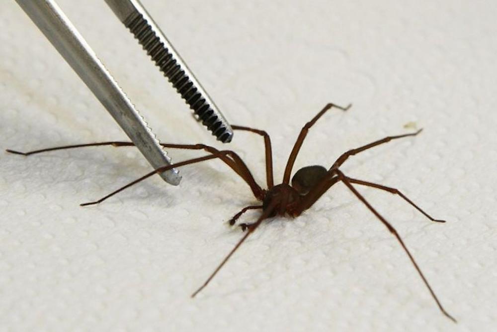 Paraná é referência em tratamento de acidentes com aranhas-marrom