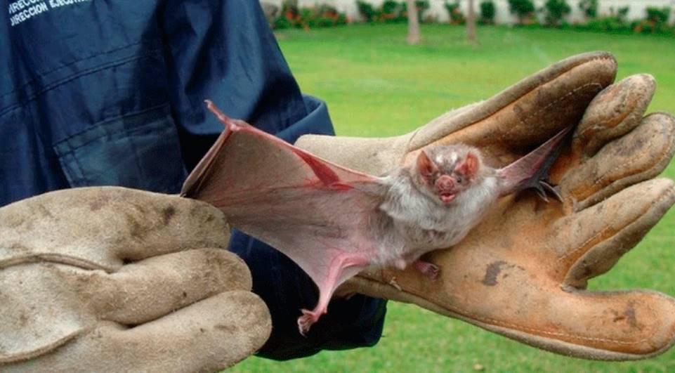 Saúde identifica morcegos contaminados pela raiva em Curitiba