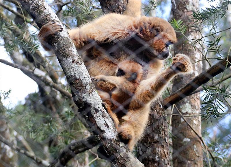 Zoológico de Curitiba tem nascimento de macaco muriqui