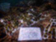 サンゴ植え付け.jpg