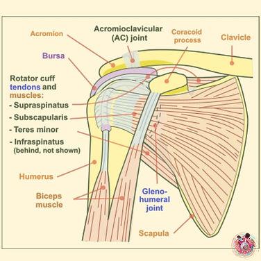 Biceps Tendonopathy.jpg