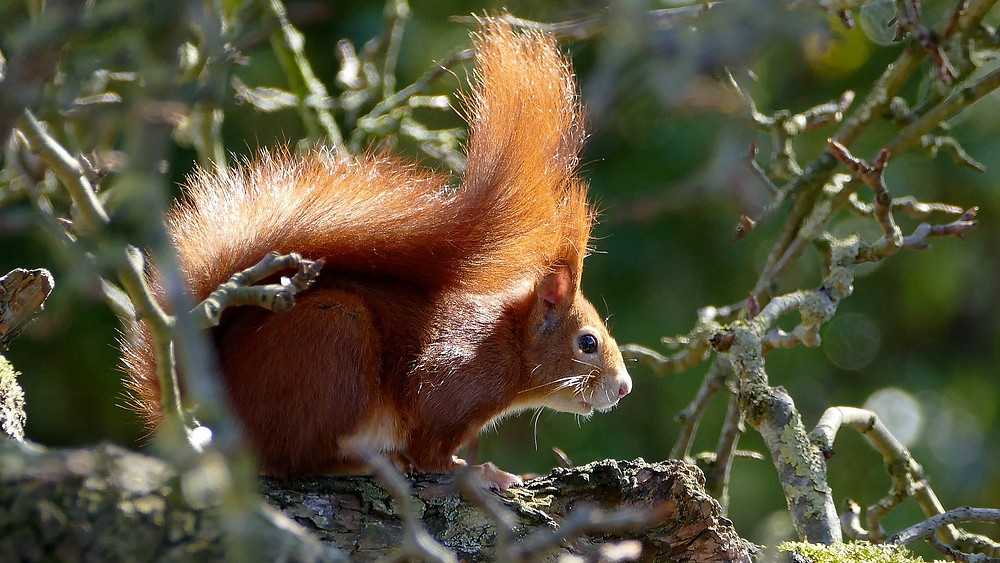 red squirrel at Kemnay House