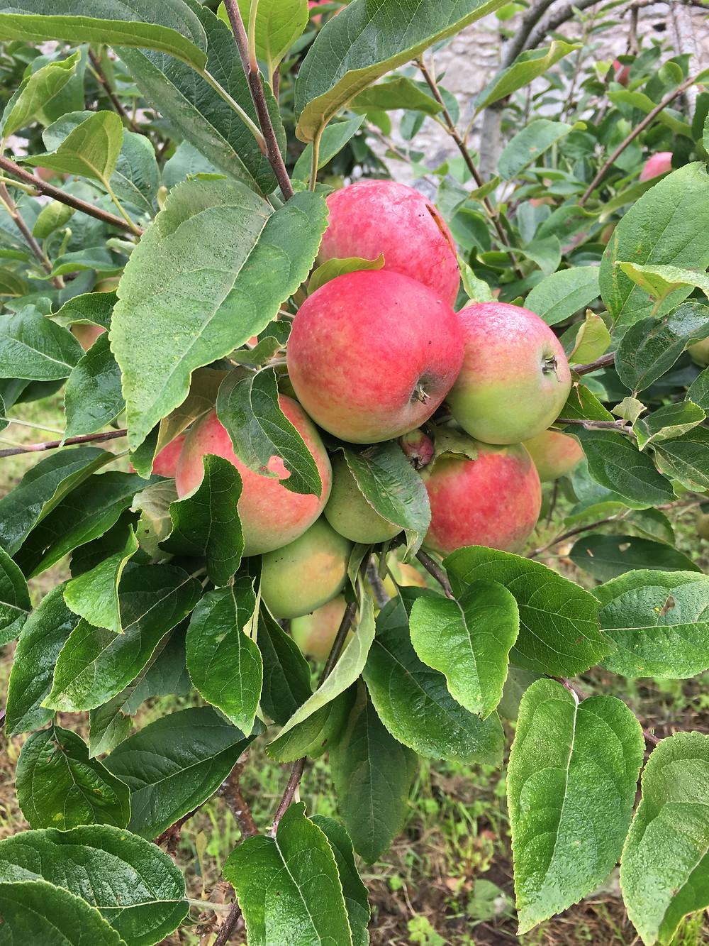 Aberdeenshire apples