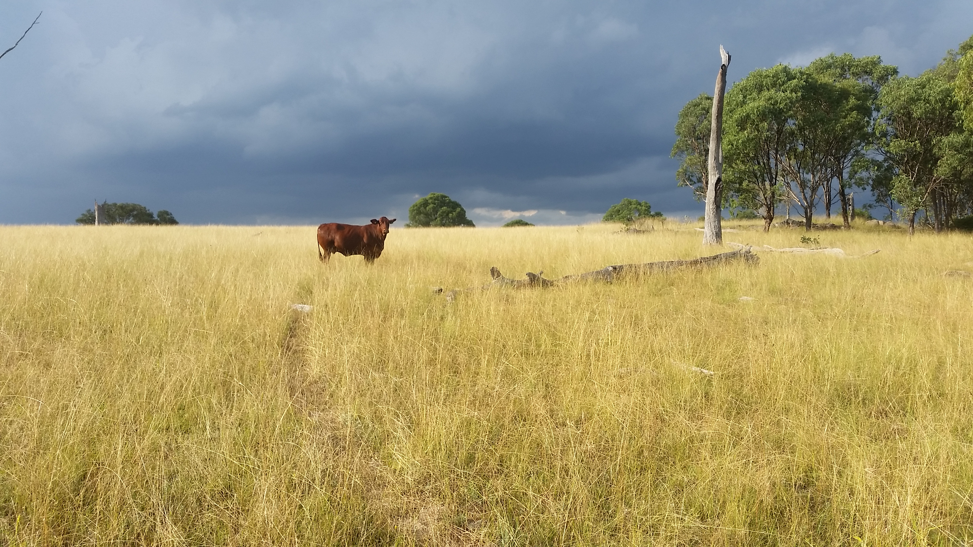 Lone droughtmaster - Top paddock